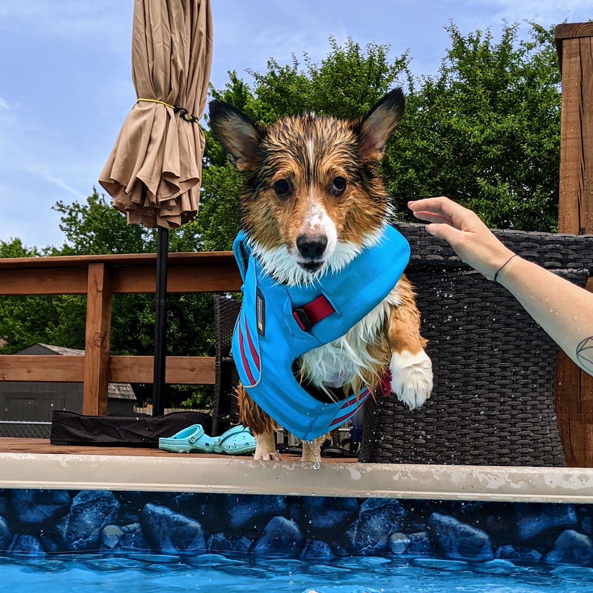 Charles, a three-legged sable pembroke welsh corgi wearing a blue life jacket, jumps into a pool