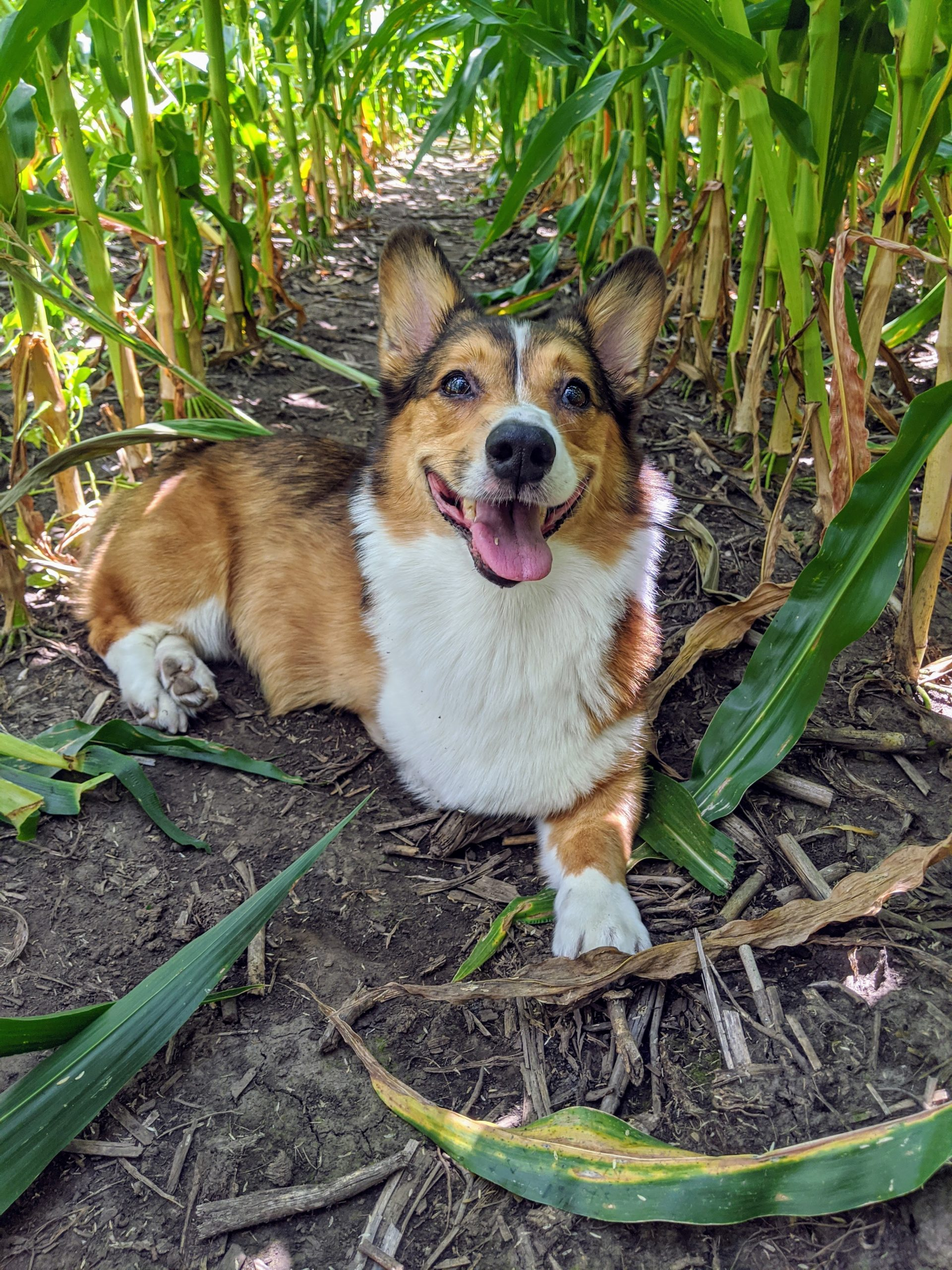 Charles, a three-legged sable pembroke welsh corgi, laying on the soil within rows of corn