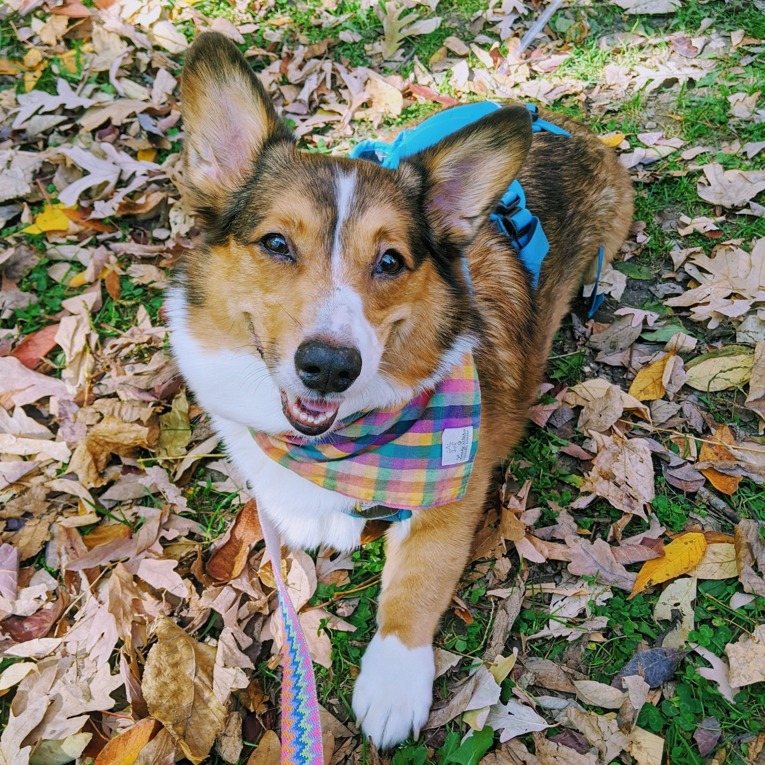 Charles, a three-legged tripawd corgi wearing a blue harness and a rainbow plaid bandana, laying on the ground upon some fall leaves, smiling